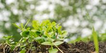 Green Basil Seedling Leaves Grow On Vegetable Bed Closeup