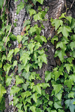Plant With Green Leaves Twining On An Old Gnarled Tree.
