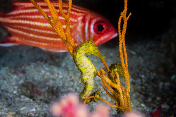 Pair of yellow Tiger Tail Seahorses on a dark tropical coral reef