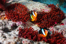 Beautiful Family Of Banded Clownfish In A Red Anemone On A Tropical Coral Reef