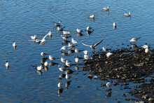 A Swarm Of Gulls On The River Bank - Stockphoto