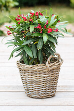 Oleander Plant With Red Flowers In A Woven Pot. Red Flowers Of Nerium Oleander