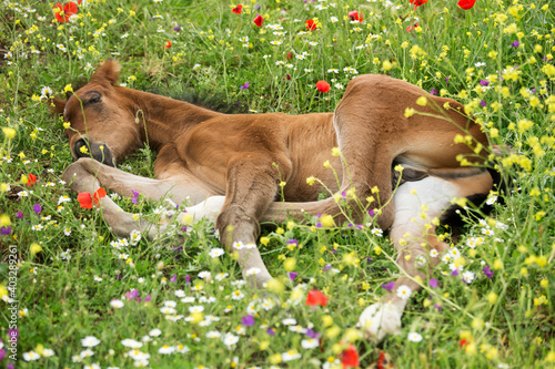 Papel de parede Andalusian foal sleeping among poppies