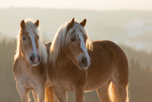 Witer Portrait Of Haflinger Horses In Backlight