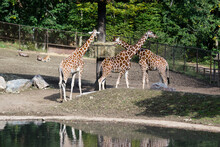 A Group Of Giraffes Stand By A Tree Behind A Lake And Feed