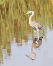 Stately Great Blue Heron Standing In The Water With Reflection In Profile.