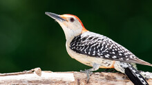Profile Of Red-Bellied Woodpecker Perched On A Branch