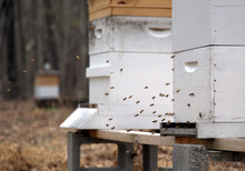Honey Bees Doing Orientation Flights Out Side Of An Active Hive In An Apiary Located In Central North Carolina.