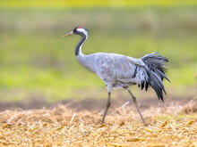 Common Crane Walking In Agricultural Field