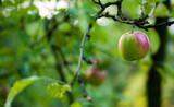 jabłko na drzewie w ogrodzie