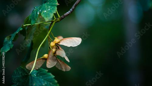 Fototapeta premium brązowe owoce klonu - dwuskrzydlaki, noski na gałęzi na ciemno zielonym tle
