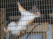Little Fluffy The Squirrel In The Cage Of Zoo
