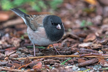 Dark-eyed Junco (Junco Hyemalis) Searching For Food
