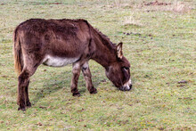 Brown Donkey Grazing In A Green Pasture On A Farm