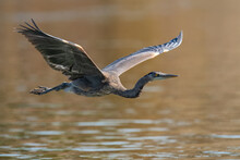 Blue Heron Flying Over The Susquehanna River Maryland