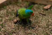 Blue-naped Parrot Walking On The Ground.