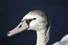 Closeup Of Young Mute Swan Face