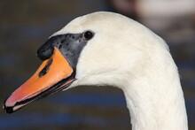 Closeup Of Mute Swan