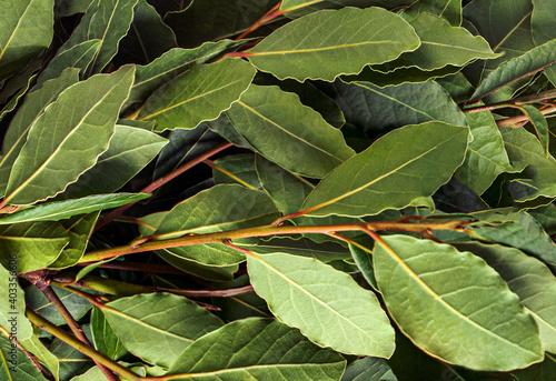 Fototapeta Fresh bay leaves texture background, macro. Organic food. obraz