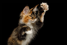Portrait Of Playful Red Maine Coon Cat Catching Toy His Polydactyl Paws On Isolated Black Background