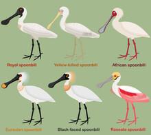 Cute Wading Bird Vector Illustration Set, Royal Spoonbill, Yellow-billed, African, Eurasian, Black-faced, Roseate Spoonbill