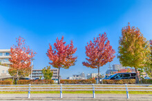 Color In Fall, Maple Leaf With Clear Blue Sky.