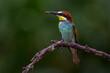 Leinwandbild Motiv Bienenfresser (Merops apiaster)