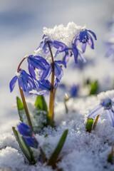 niebieskie kwiaty kwitnące wiosną w ogrodzie w śniegu