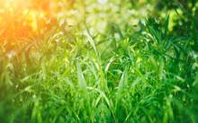 Green Grass, Sunlight. Summer Natural Background.