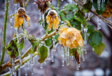 Rose Bush With Yellow Flowers And Green Leaves Covered With Ice After Icy Rain. Quality Image For Your Project