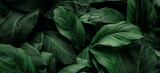 The concept of leaves of Cannifolium spathiphyllum, abstract dark green surface, natural background, tropical leaves - 403426873
