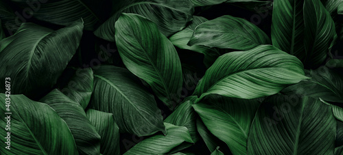Fototapeta The concept of leaves of Cannifolium spathiphyllum, abstract dark green surface, natural background, tropical leaves obraz