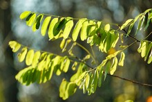 Leaves Of Tree, Photo Picture Digital Image