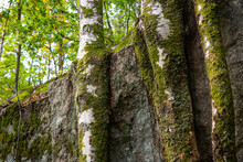Three Birches Growing Close To A Cliffside..