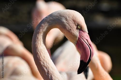 Fotografie, Obraz Close up of flamingo head
