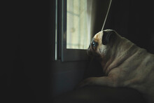 Cute Little Pug Dog Looking Out A Window With Evening Light Illuminating His Face. Feeling Sad And Missing Owner