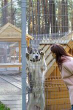 The Girl Looks At The Beautiful And Kind Shepherd Alaskan Malamute