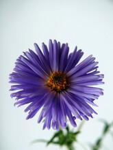 Close-up Of The Flowering Bud Aster Novi-belgii.