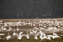 A Flock Of Thousands Of Tundra Swans, Cygnus Columbianus, Stopping In A Farmers Field In Canada During Migration