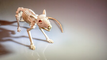 Rat Skeleton Close Up On A White Background