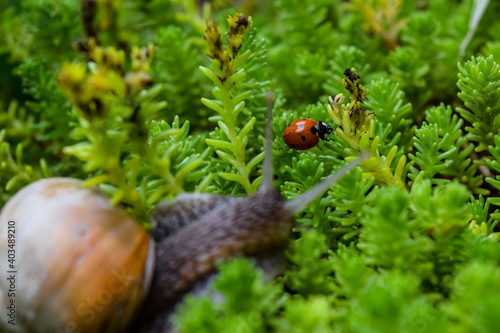 Fototapeta Snail and a ladybug in grass