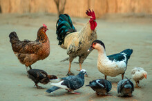 Roosters, Chickens, Ducks And Pigeons Are Eating Together