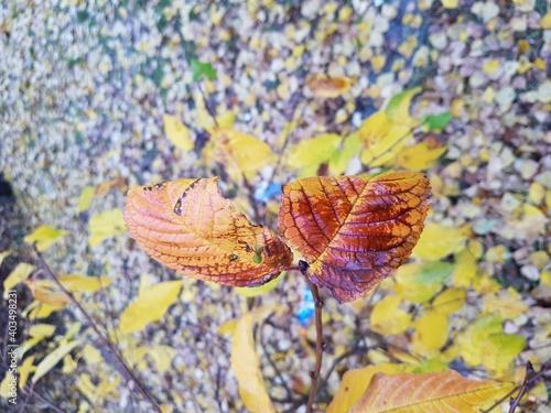 Krwawy jesienny liść  - fototapety na wymiar