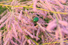 Beautiful Golden  Green Beetle On Pink Flowers.  Beautiful Insect, Dorsal View Of Beetle.