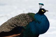 Closeup Of Beautiful Peacock On Snow