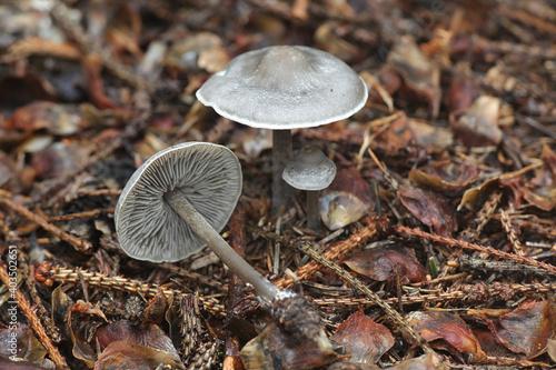 Fotografie, Obraz Lyophyllum rancidum, known as rancid greyling, wild mushroom from Finland