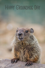 Young Groundhog Portrait, Marmota Monax, In Soft Neutral Earth Tones With Happy Groundhog Day Text