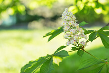 Blooming White Horse Chestnut Tree Branch In A Park, Blurred Background. Springtime Concept. Close Up, Selective Focus, Copy Space