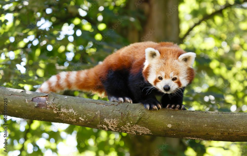 Fototapeta Red panda (ailurus fulgens) in a tree