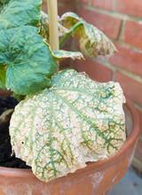 Cucumber Mosaic Virus Growing On A Cucumber Plant, UK